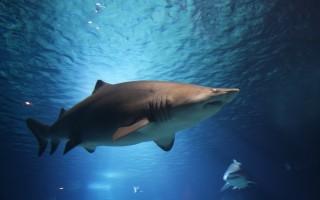 Акула: скорость, сколько живут, виды, продолжительность жизни