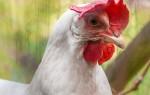 Как петух оплодотворяет курицу?