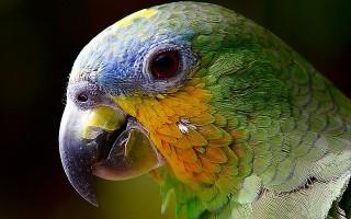 Чем питается попугай?