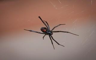 Черная вдова паук