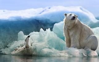Белый медведь – описание, чем питается