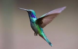 Самая маленькая птичка в мире. Описание птицы