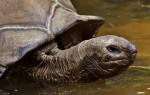 Что ест черепаха в домашних условиях?
