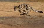 Какая максимальная скорость гепарда?