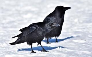 Ворон — сколько может прожить?