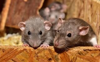 Крыса – описание и виды