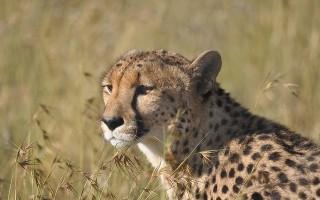 Чем отличается гепард от леопарда?