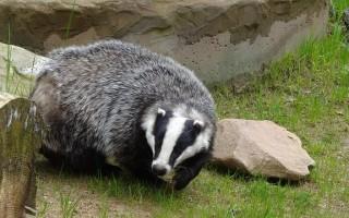 Барсук – описание, виды, где обитает