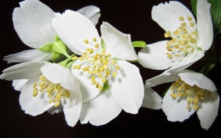 Цветок жасмин: разновидности, уход дома
