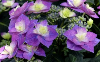 Гортензия: выращивание, уход за цветами в саду и жилом помещении