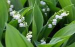 Ландыш майский — описание, где растет