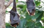 Летучая мышь — описание, образ жизни