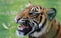 Сколько весит тигр?