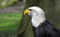 Орел (птица) — описание, виды, сколько лет живет и чем питается