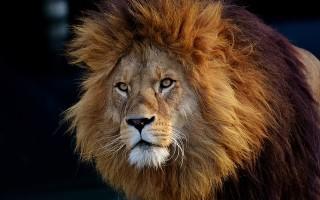 Львы: африканский и азиатский