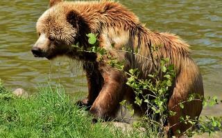 Медведь — описание, виды