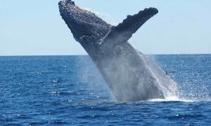 Сколько весит синий кит