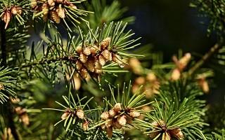 Сосна обыкновенная — описание, выращивание