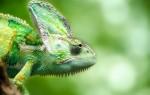 Хамелеон: описание, виды, что едят