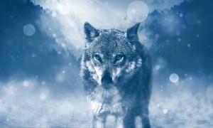 Сколько живут волки