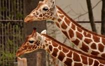 Жираф — описание, где обитает