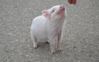 Свинья — описание, какие бывают, что едят