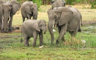 Слон – описание, виды, где живет