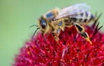 Как живут пчелы: описание, образ жизни, питание, размножение